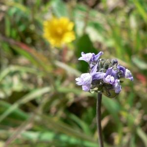 Linaria arvensis (L.) Desf. (Linaire des champs)
