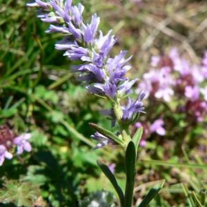 Photographie n°25160 du taxon Veronica spicata L.