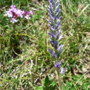Photographie n°25175 du taxon Veronica spicata L.