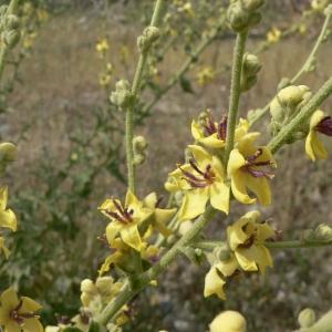 Photographie n°25179 du taxon Verbascum sinuatum L.