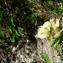 Mathieu MENAND - Pedicularis tuberosa L.