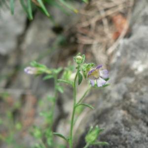 Photographie n°25207 du taxon Chaenorhinum origanifolium (L.) Kostel. [1844]