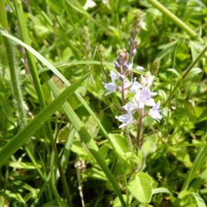 Photographie n°25209 du taxon Veronica officinalis L.