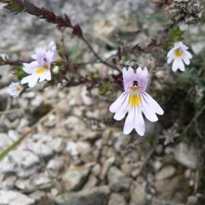 Euphrasia salisburgensis Funck (Euphraise de Salzbourg)