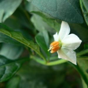 Solanum hyemale Salisb. (Morelle)