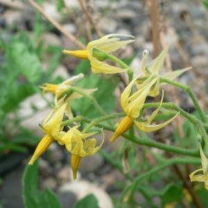 Solanum lycopersicum L. (Tomate)
