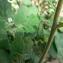 Mathieu MENAND - Solanum nigrum L.