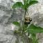 Mathieu MENAND - Solanum chenopodioides Lam. [1794]