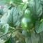 Mathieu MENAND - Solanum pseudocapsicum L.