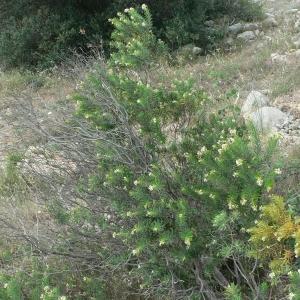 Photographie n°25366 du taxon Daphne gnidium L.