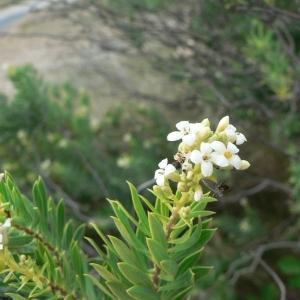 Photographie n°25369 du taxon Daphne gnidium L.