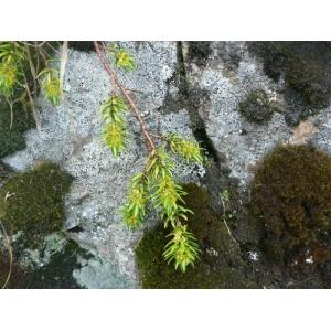 Thymelaea calycina (Lapeyr.) Meisn. [1857] (Passerine à calice large)
