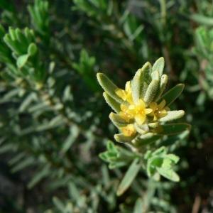Thymelaea tinctoria (Pourr.) Endl. [1847] (Passerine des teinturiers)