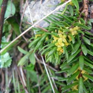 - Thymelaea calycina (Lapeyr.) Meisn. [1857]