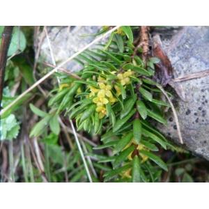 Thymelaea calycina (Lapeyr.) Meisn. (Passerine à calice large)