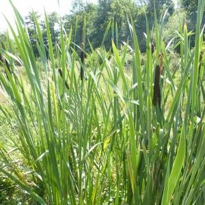 Photographie n°25404 du taxon Typha angustifolia L.