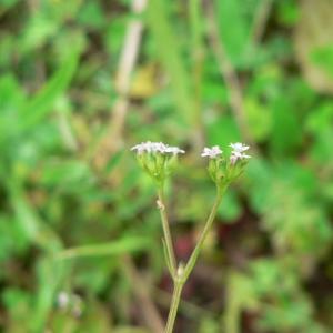 Photographie n°25437 du taxon Valerianella dentata (L.) Pollich [1776]