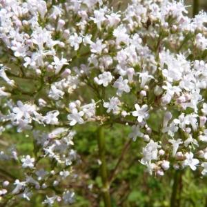 - Valeriana officinalis subsp. sambucifolia (J.C.Mikan ex Pohl) Celak. [1871]