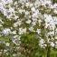 Mathieu MENAND - Valeriana officinalis subsp. sambucifolia (J.C.Mikan ex Pohl) Celak. [1871]
