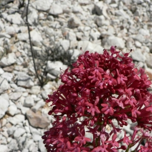 Photographie n°25439 du taxon Centranthus ruber (L.) DC.