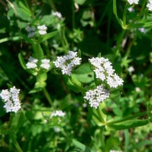 Photographie n°25451 du taxon Valerianella eriocarpa Desv.