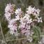 Mathieu MENAND - Valeriana officinalis subsp. tenuifolia (Vahl) Schübler & G.Martens [1834]