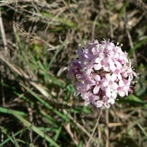 Photographie n°25469 du taxon Valeriana tuberosa L.
