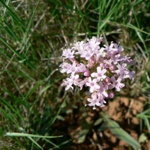 Photographie n°25476 du taxon Valeriana tuberosa L.