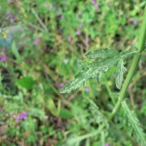Photographie n°25481 du taxon Verbena officinalis L.