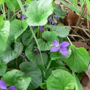 Photographie n°25495 du taxon Viola odorata L.