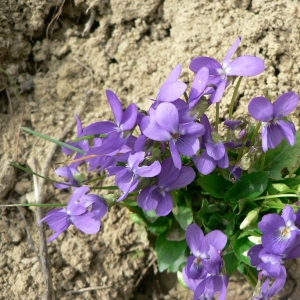 Photographie n°25505 du taxon Viola hirta L. [1753]
