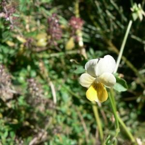 Viola tricolor subsp. saxatilis (F.W.Schmidt) Arcang. (Pensée des rochers)