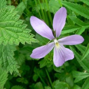 Photographie n°25513 du taxon Viola cornuta L. [1763]