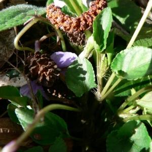 Photographie n°25515 du taxon Viola riviniana Rchb.