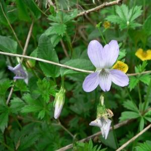 Photographie n°25521 du taxon Viola canina L. [1753]