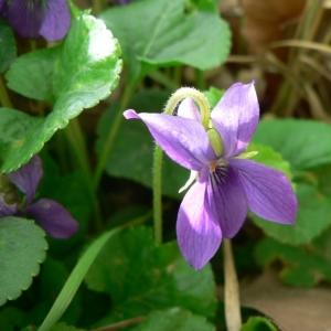 Photographie n°25527 du taxon Viola odorata L.