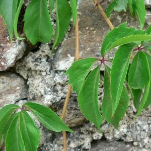 Photographie n°25539 du taxon Parthenocissus quinquefolia (L.) Planch. [1887]