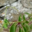 Mathieu MENAND - Parthenocissus quinquefolia (L.) Planch. [1887]