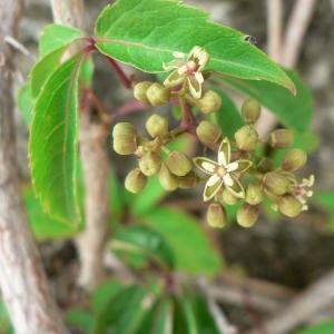 Parthenocissus quinquefolia (L.) Planch. (Vigne-vierge)