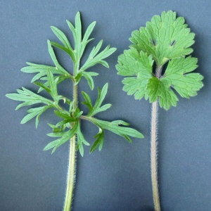 Photographie n°25580 du taxon Ranunculus bulbosus L. [1753]