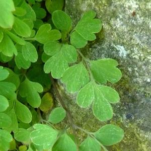 Photographie n°25586 du taxon Pseudofumaria lutea (L.) Borkh. [1797]