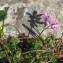 Daniel Mathieu - Erodium cicutarium (L.) L'Hér.