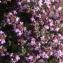 Daniel Mathieu - Thymus vulgaris L.