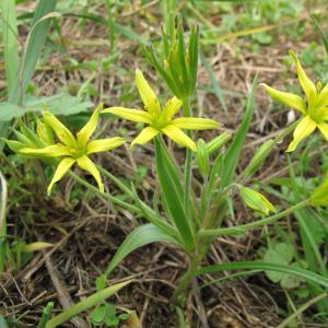 Photographie n°25648 du taxon Gagea villosa (M.Bieb.) Sweet