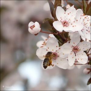 Photographie n°25649 du taxon Prunus domestica subsp. cerasifera (Ehrh.) Arcang.