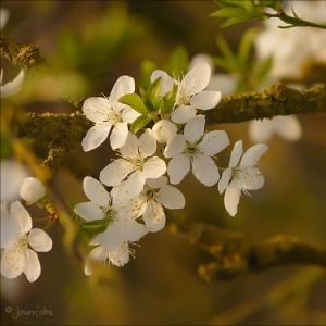 Photographie n°25650 du taxon Prunus domestica var. myrobolana L.