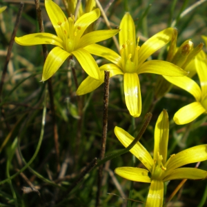 Gagea bohemica (Zauschn.) Schult. & Schult.f. subsp. bohemica (Early Star-of-Bethlehem)