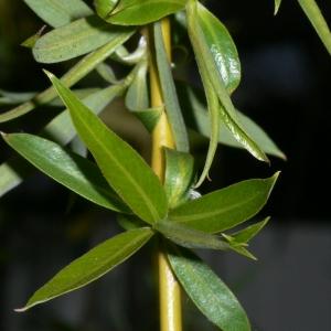 Photographie n°25676 du taxon Salix babylonica L. [1753]