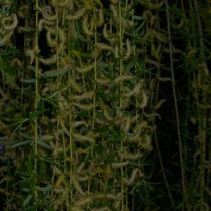 Photographie n°25679 du taxon Salix babylonica L. [1753]