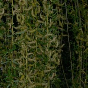 Photographie n°25680 du taxon Salix babylonica L. [1753]